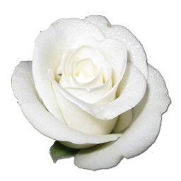 White rose icon png clipart image for Blanca quintanilla